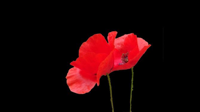PoppiesBlack1
